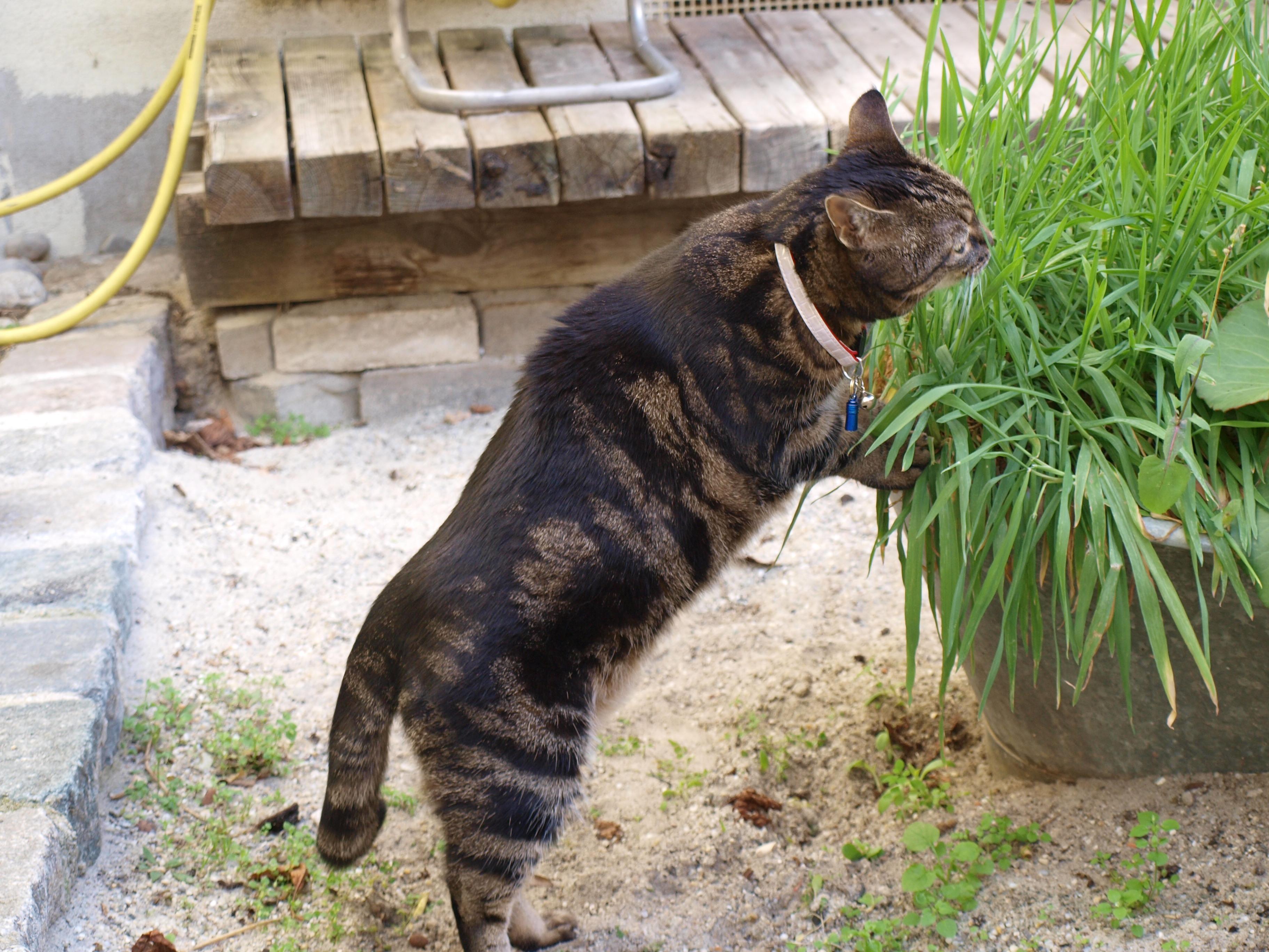 Katze Moritz beim Gras Fressen