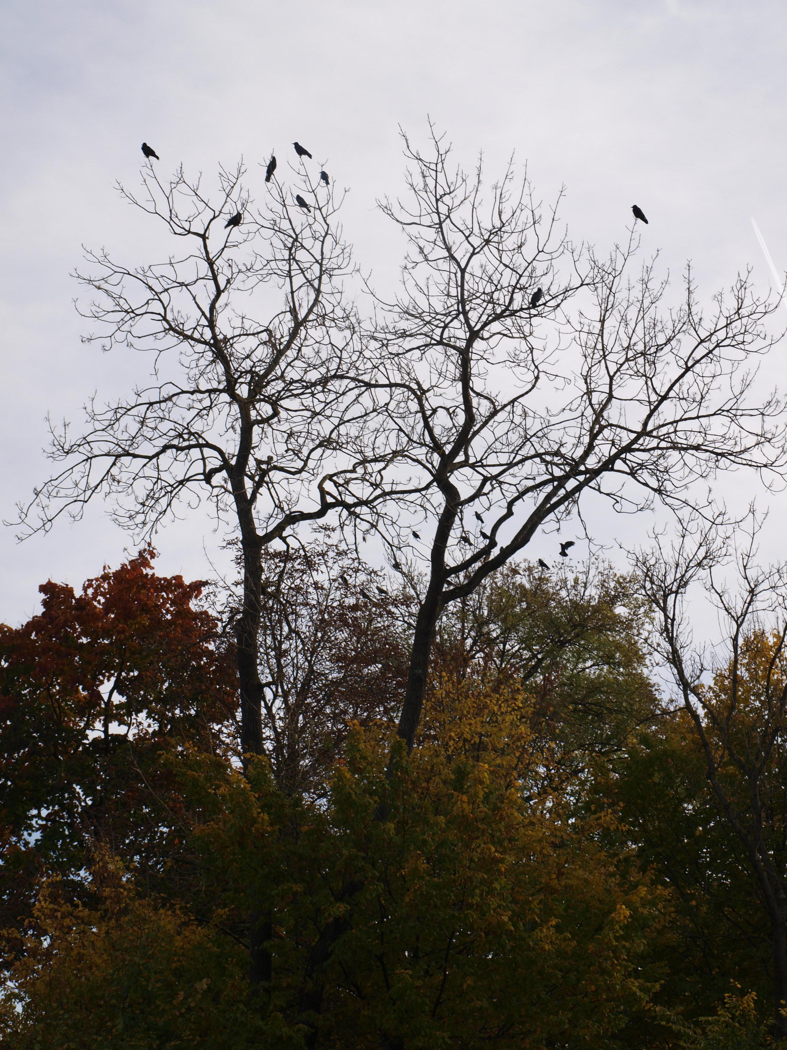 Sieben Raben auf einem Baum