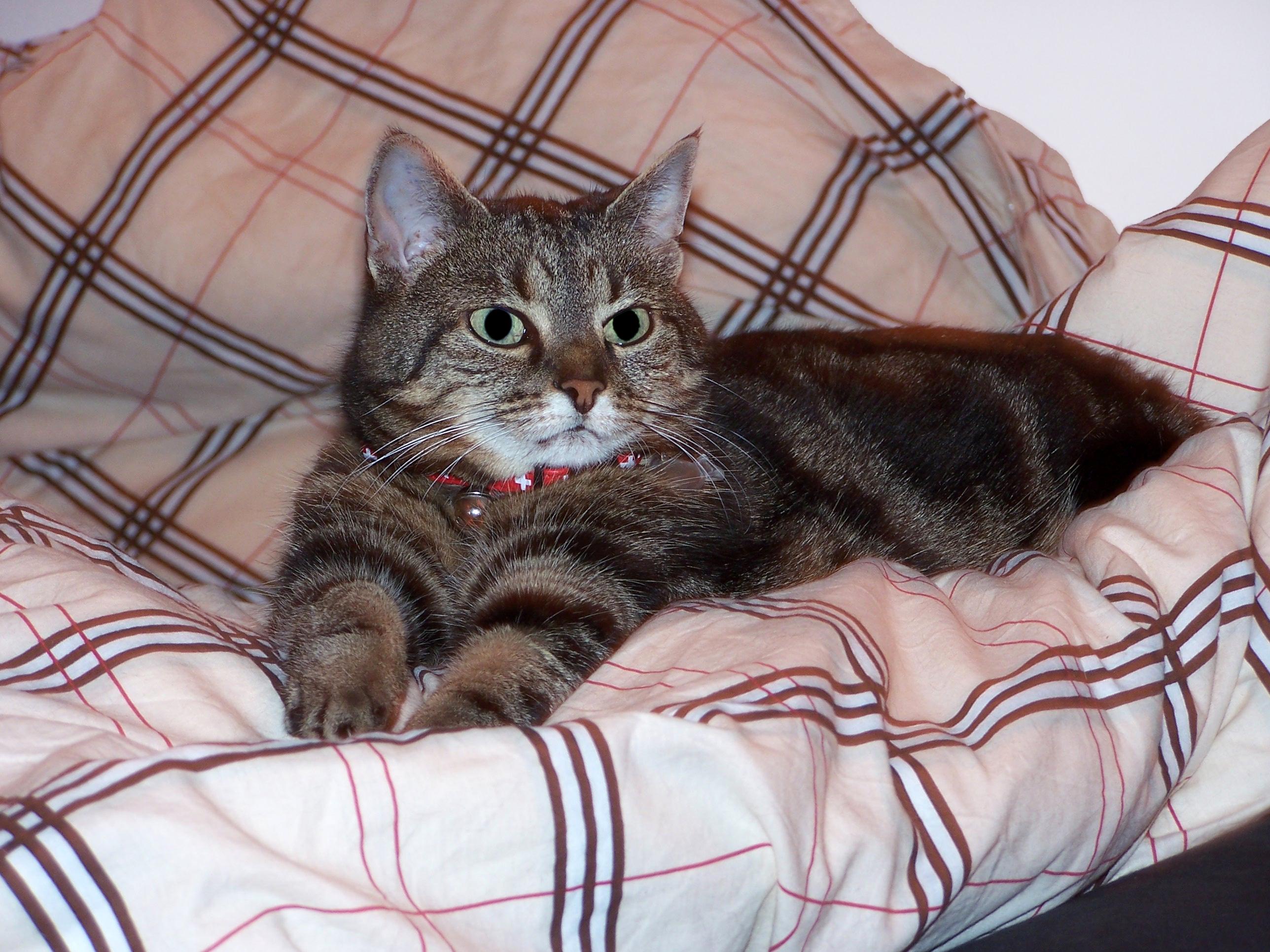 Katze Moritz auf dem Bett